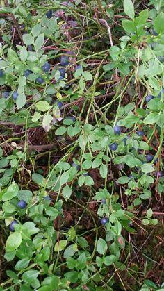 Mustikkaa. :) Plants, Plant, Planets