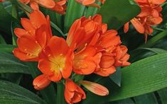 Clivia, coltivazione e cure Rope Shelves, Wooden Shelves, Begonia, Amarillis, Cactus, Plantar, Kiss You, Exotic Flowers, Flowers