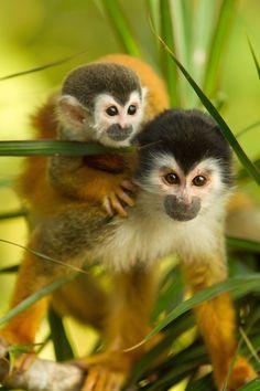 Squirrel Monkeys by Yehudi  Hernandez