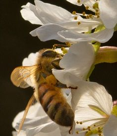 Honeybee on a Cherry Blossom by digiphotolover via ferrebeekeeper #Honeybee #digiphotolover #ferrebeekeeper