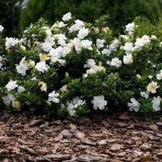 Gardenia Radicans | Dwarf Radicans Gardenia — PlantingTree White Flowering Shrubs, Evergreen Shrubs, Shade Evergreen, Landscaping Plants, Front Yard Landscaping, Backyard Plants, Indoor Gardening, Garden Plants, Indoor Plants