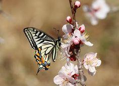 Nami-ageha (japanese name) /  Papilio xuthus (scientific name)