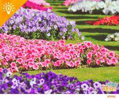 Para garantir um jardim florido, a nossa dica é remover todas as flores secas da planta para que esta possa voltar a florescer. Caso contrário, esta irá concentrar-se em produzir mais sementes e não voltará a abrir tão depressa.