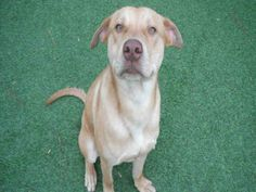 Hello!!! I'm the playful boy named Vanderbilt, and it's so nice to meet you! I'm here at the SPCA while I look for my fur-ever home. I'm optimistic that I'll find mine soon. I mean, have you met me? I'm about as happy and cheerful as they come! I am a neutered male, red Hound mix and I am about 2 years old. (ID#A077569)
