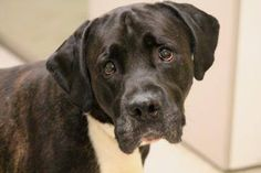 NAME: Kaine  ANIMAL ID: 28007132  BREED: Boxer mix  SEX: male  EST. AGE: 10 yr  Est Weight: 76 lbs  Health: heartworm neg  Temperament: dog friendly, people friendly.  ADDITIONAL INFO: RESCUE PULL FEE: $15  Intake date: 6/3  Available: Now