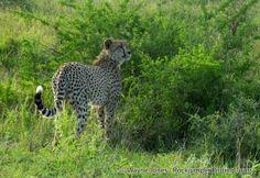 Cheetah_Kruger_SA VI South Africa Wildlife, Cheetah, Panther, Tours, Animals, Animales, Animaux, Panthers, Animal