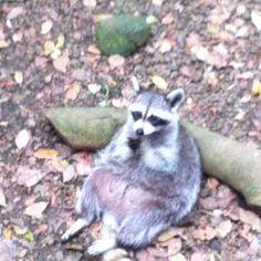 Racoon, parc des mamelles, Guadeloupe 2012