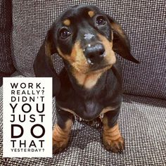"17 Likes, 2 Comments - Dachshund Quotes & Pictures (@mydachshundfamily) on Instagram: ""I know...sorry  .  @winifred_dachshund"""