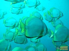 A great photo showing a school of batfish patrolling the waters off the northern coast of Borneo, Malaysia.   www.my-divespot.com
