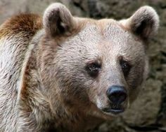 "8.28.2014 Petition - Ban Tortuous Bear Baiting 'Sport' - Target: Nikki Haley, Governor of South Carolina | Bears forced into the brutal world of bear baiting are mutilated by having their canine teeth and claws cruelly removed so that they are unable to defend themselves. Then they are forced to undergo several ""fights"" per day where they are tied down and ruthless dogs that have been trained to attack are unleashed upon them."
