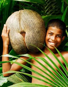 Coco De Mer   Coco de Mer coconuts don't drop from the trees fully female formed. Once the nuts fall into the ocean, they sink to the bottom where eventually the outer husk sloughs off and decomposition gases cause the inner nut to bob to the surface. Imagine being a shipwrecked sailor, alone and lonely, starved for companionship… and one of these babies washes up on the beach. Talk about rubbing salt into the wound!