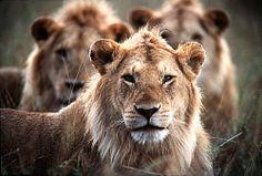 leoes