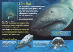 The improbable-looking Megamouth Shark!