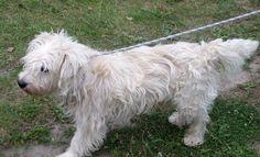 Dino  To młody, około 2 letni bardzo ułożony pies.   Jest łagodny w stosunku do innych psów. Na spacerach nie sprawia kłopotów.  Dino to niezwykle spokojny pies, który dobrze czuje się w towarzystwie człowieka. Jest posłuszny i ładnie chodzi na smyczy.  Warto dodać, że to prawdziwy przystojniak z gęstym kręconym futerkiem i długimi białymi uszami:)
