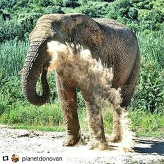 One of our ellies having a #sandbath at #askarilodge #askarielephants #elephantexperience #dustbuster #morningshower #elephant #closetonature #closeenoughtotouch  Thanks for this incredible pic @planetdonovan  #Repost @planetdonovan with @repostapp ・・・ dust buster