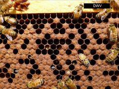 First year beekeeping - Scientific Beekeeping Package Bees, Bee Hive Plans, Backyard Beekeeping, First Year, Bee Keeping, Animal Print Rug, Vermont, Places, Beekeeping