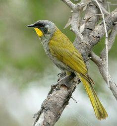 Yellow-throated Honeyeater, Tasmania
