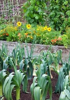 Leeks in vegetable garden, old galvanised container with dwarf sunflowers, Calendula, French Marigolds, Pelagoniums, behind Runner Beans on tripods. RHS Growing Tastes Allotment Garden - RHS Hampton Court Flower Show 2009