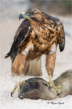 Galapagos hawk (Buteo galapagoensis) is a large hawk endemic to the Galapagos Islands.