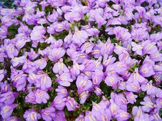 How to Find the Right Ground Cover Perennials Mazus The abundant purple flowers of Mazus reptans bloom in mid-spring and remain through early summer. This drought-tolerant plant can also be grown in full sun. ZONES 4-10