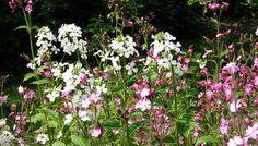 Aftenstjerne er en toårig plante. Den kan blive over en meter høj og kan danne en fin klynge. Det første år udvikler den en kraftig bladmasse og er ikke mere end ca. 50 cm høj, men andet år får fra slut maj tusindvis af små korsblomster. Den kan minde lidt om en høj floks. Undertiden kan man forlænge blomstringen ved at fjerne blomsterne, lige inden de helt er afblomstrede..Aftenstjerne blomstrer samtidig med dagpragtstjerne, og de to er fine sammen. Foto:Karna Maj