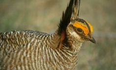 Lesser Prairie Chicken Protection Plan Prompts Property Rights Battle And Agenda 21 Concerns