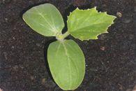Καλλιέργεια Αγγουριάς Plant Leaves, Plants, Plant, Planets