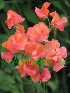 Sweet Pea Prince of Orange - A striking clashing orange and pink bicolour.