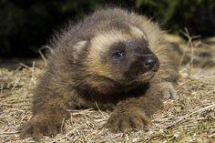Wolverine cub