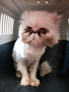 OptionsShareSendLike Timeline Photos  Stamford Animal Control Center April 28 ·    Found stray cat in Stamford around Wardwell st. She is a female Persian no chip and very friendly . Please Share...... 203-977-4437 Sharon Boulanger