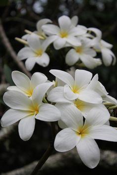 Plumeria ... Always makes me think of my grandpa
