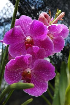 Vanda Prchids | Noid semi-teret Vanda orchid in bloom