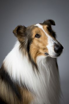 Lassie, the tenth-generation descendant of the collie TV star of the same name. Lassie was not competing at Westminster, but attended many promotional events with her public-relations team.