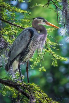 Great Blue Heron at Greenfield Lake, Wilmington, NC