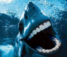 I just got my teeth whitened for Shark Week. How do they look? Sharks With Human Teeth, Mundo Hippie, Save The Sharks, Dental Humor, Dental Hygiene, Dental Care, Teeth Health, Family Dentistry, Memes Br