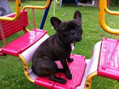 """""""Uhmmm""""...""""It's much more fun if you push me"""", funny French Bulldog"""