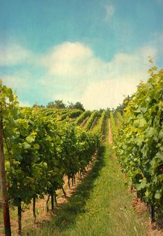 Sommerlicher ~ vineyards, Weinberg in Rheingau (one of 13 designated German wine regions).  Photo: Iris Lehnhardt