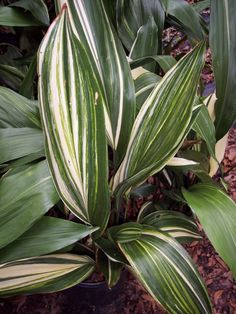Grandiflora is a plant nursery based out of Gainesville, Florida. Garden Plants, Indoor Plants, Pot Plants, Flower Gardening, Layout Design, Chen, Grey Bedroom With Pop Of Color, Cast Iron Plant, Peruvian Lilies