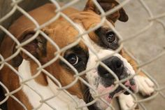 Boxer NO CARD YET  Kennel A19 Available ?**** $?to adopt   Located at Odessa, Texas Animal Control. Must have a valid Drivers License and utility bill with matching address to adopt.  https://www.facebook.com/speakingupforthosewhocant/photos/pb.248355401855372.-2207520000.1409164101./831204053570501/?type=3&theater