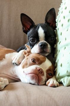 Boston terriers cuddling on a couch... i miss my puppy ):
