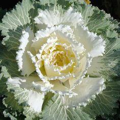 Ornamental Cabbage Osaka White – Premier Growers, Inc. Cabbage Plant, Cabbage Seeds, Cabbage Roses, Ornamental Cabbage, Ornamental Plants, Winter Plants, Summer Plants, Flower Seeds, Flower Pots