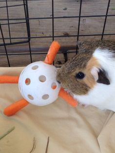 Combine a Wiffle ball with some baby carrots to make a fun toy for your guinea pig! Get a small Wiffle Ball. Push the small ends of baby carrots firmly into the holes of the Wiffle ball. Diy Guinea Pig Toys, Diy Guinea Pig Cage, Pet Guinea Pigs, Guinea Pig Care, Pet Pigs, Diy Hamster Toys, Diy Bunny Toys, Guinnea Pig, Class Pet