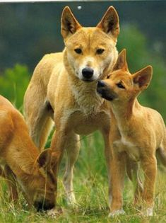 Dingoes...Australian wild dogs...