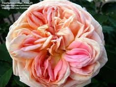 Full size picture of Large Flowered Climbing Rose, Shrub Rose 'Alchymist' - partner with papi delbard? My Flower, Flower Power, Shrub Roses, Climbing Roses, Rose Cottage, Shrubs, Peonies, Outdoor Gardens, Beautiful Flowers