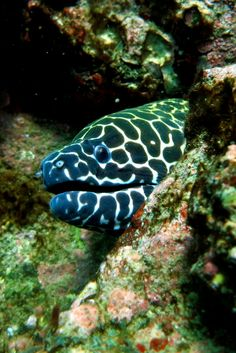 Laced moray eel photographed while scuba diving in Netrani Island, Goa, India - A Scuba Diving Expedition Tale from Goa to Karnataka, India – World Adventure Divers – Read more on https://worldadventuredivers.com/2014/01/25/expedition-tale-netrani-island-india/