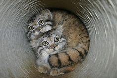 gato-de-pallas-o-gato-com-as-melhores-expressões-do-mundo-5