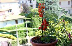 arvore de tomate gigante - Pesquisa Google