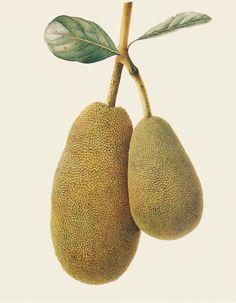 Brigid Edwards. Artocarpus hererophyllus (Jackfruit) 1998, watercolour on vellum.