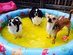 My chihuahuas having a puppy pool party!