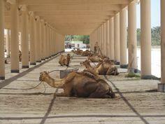 The royal Camels.